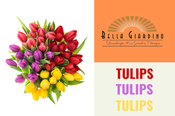 Bulbs to Plant in the Spring – Tulips 2017